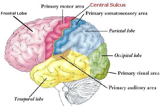 ciencia CentralSulcus1
